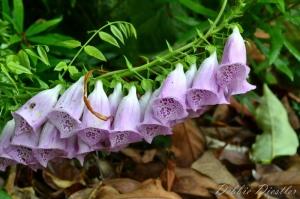 lavender-bell-flowers-botanical-gardens-10