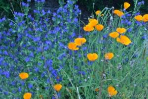 poppies-10