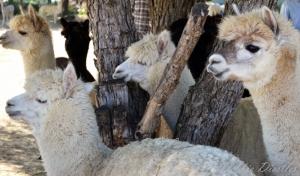 alpaca-social