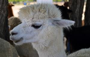 white-alpaca