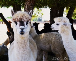 white-and-black-alpaca
