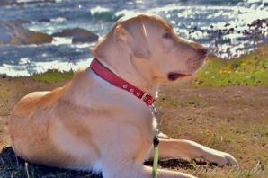 Zeke by the Ocean in Mendocino